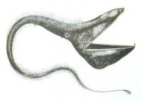 Eurypharynx.2.jpg